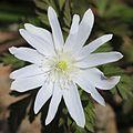 Anemone pseudoaltaica (n15).JPG