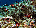 Anemonefish colony.jpg