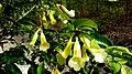 Anemopaegma citrinum Mart. ex DC. (4069644783).jpg