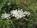 Angelica acutiloba-01.jpg