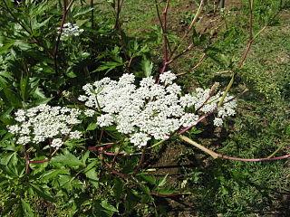 <i>Angelica acutiloba</i> species of plant