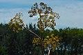 Angelica atropurpurea (29440017125).jpg