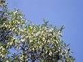 Angiosperms in iran گلها و گیاهان گلدار ایرانی 19.jpg