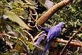 Anodorhynchus hyacinthinus -Montreal Biodome, Canada-8a.jpg