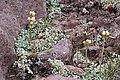 Antennaria umbrinella on rocks Flickr - andrey zharkikh.jpg