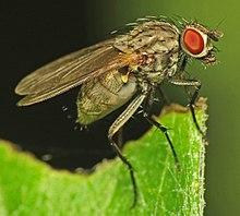 Anthomyiidae (female) (10144905255).jpg