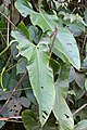 Anthurium argyrostachyum (Araceae) (30004764462).jpg