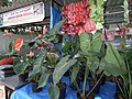 Anthurium displayed in shop from Lalbagh flower show Aug 2013 8647.JPG