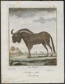 Antilope gnu - 1700-1880 - Print - Iconographia Zoologica - Special Collections University of Amsterdam - UBA01 IZ21400285.tif