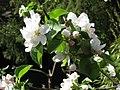 Apfelblüte, Sorte Geheimrat Dr. Oldenburg.jpg