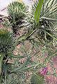 Aphis fabae on Cirsium vulgare.jpg