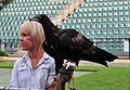 Aquila audax -Australia Zoo -with a zoo keeper-8a.jpg