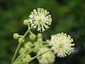 Aralia cordata, flower 03.jpg