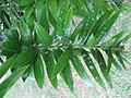 Araucaria bidwillii leaves 01 by Line1.jpg