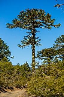 <i>Araucaria araucana</i> species of plant