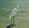 Ardea alba egretta (great egret) (Cayo Costa Island, Florida, USA) 3 (25844531181).jpg