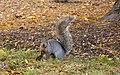 Ardilla gris oriental (Sciurus carolinensis), Grant Park, Chicago, Illinois, Estados Unidos, 2012-10-20, DD 08.jpg