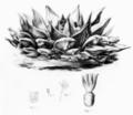 Ariocarpus retusus Scheidweiler 1838.png