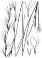 Aristida longespica geniculata BB-1913.png