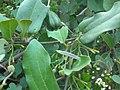 Aristolochia indica L..jpg