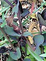 Aristolochia pistolochia FlowersCloseup 12April2009 DehesaBoyaldePuertollano.jpg