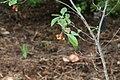 Aronia arbutifolia 2zz.jpg