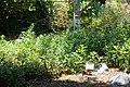 Artemisia douglasiana - Manhattan Beach Botanical Garden - Manhattan Beach, CA - DSC01354.jpg