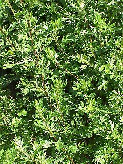 hierba artemisa para que sirve