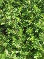 Artemisia vulgaris0.jpg