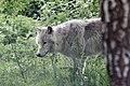 Artic Wolf 0814 (7263430388).jpg