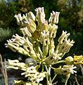 Asclepias subulata flowers 2.jpg