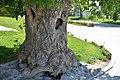 Ash maple on the territory of the Astrakhan Kremlin.jpg