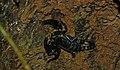 Asian Forest Scorpion (Heterometrus spinifer) (8682592469).jpg