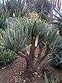 Asparagales - Kumara plicatilis 1.jpg
