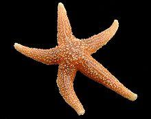 Patrick étoile De Mer Wikipédia