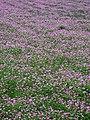 Astragalus sinicus.JPG