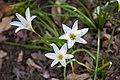 Atamasco Lily (Alabama Extension).jpg