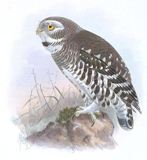 Pamela C. Rasmussen - An 1891 painting of the forest owlet, which was rediscovered by Rasmussen in 1997