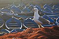 Atlantic Yellow-legged Gull (4990017012).jpg