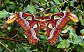 Atlas moth.(Attacus atlas) (37127800310).jpg
