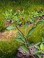 Atropa belladonna Pokrzyk wilcza-jagoda 2015-05-17 01.jpg