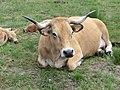 Aubrac-race bovine10.jpg