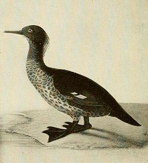 New Zealand merganser - Illustration from 1909