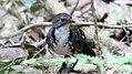 AustralianLogrummer (Orthonyx temminckii) (31257118462).jpg