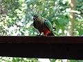 Australian King Parrot (32198153911).jpg