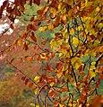 Autumn, Barnetts Demesne - geograph.org.uk - 1036317.jpg