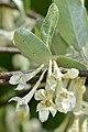 Autumn Olive (Elaeagnus umbellata) - Guelph, Ontario.jpg