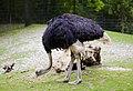 Avestruz (Struthio camelus), Tierpark Hellabrunn, Múnich, Alemania, 2012-06-17, DD 03.JPG