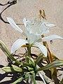 Azucena de mar o cebolla de las gaviotas (Pancratium maritimum).jpg