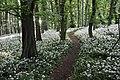 Bärlauch im Frühjahrs-Buchenwald.jpg